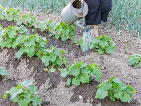 Подкормка рассады нашатырным спиртом — пропорции, полив и обработка в огороде