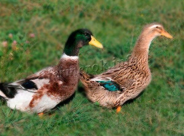 Башкирская утка — внешний вид, характеристика продуктивных качеств, способы выращивания