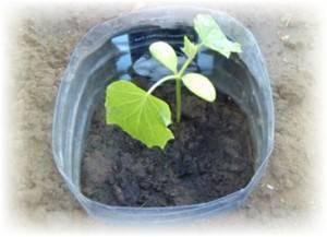 Выращивание огурцов в пластиковых 5 литровых бутылках: особенности посадки и ухода