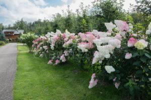 Мечтательный цветок гортензия ванилла фрейз: посадка и уход