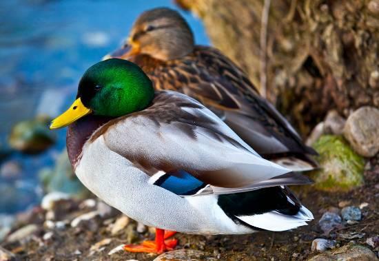 Как отличить утку от селезня — половые и внешние особенности