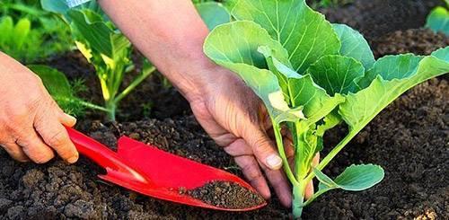 Лучшие подкормки для рассады капусты, чтобы росла