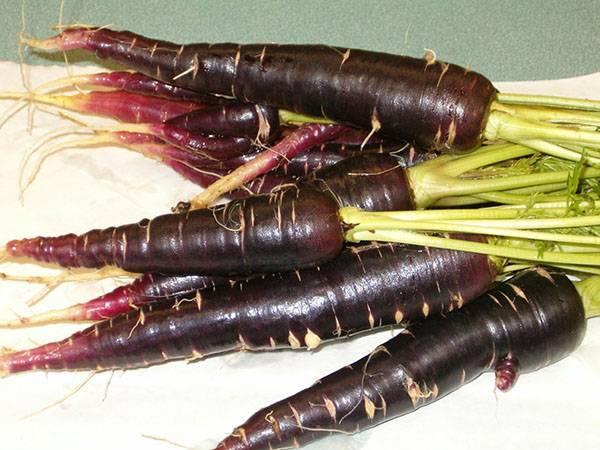 Черная морковь – описание овоща, правила выращивания, когда лучше сажать скорцонеру?