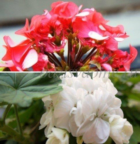 Бегония уход что делать для цветения, как правильно пересаживать, размножение