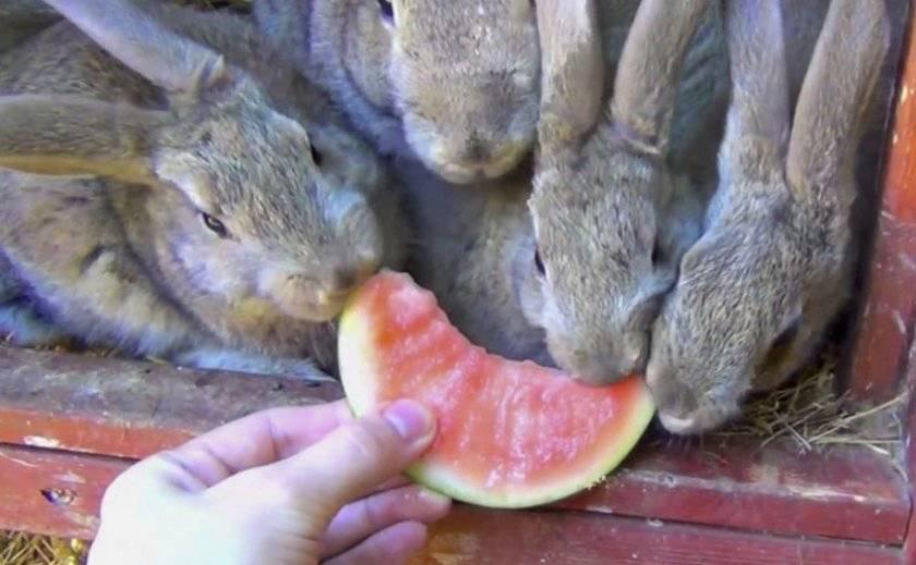 Можно ли кроликам давать арбузные корки