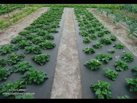 Правильный полив весной – отличный урожай клубники летом. когда, как и чем поливать клубнику, как её подкармливать