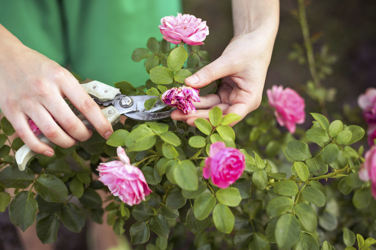 Почему не цветет гибискус? как заставить гибискус цвести?