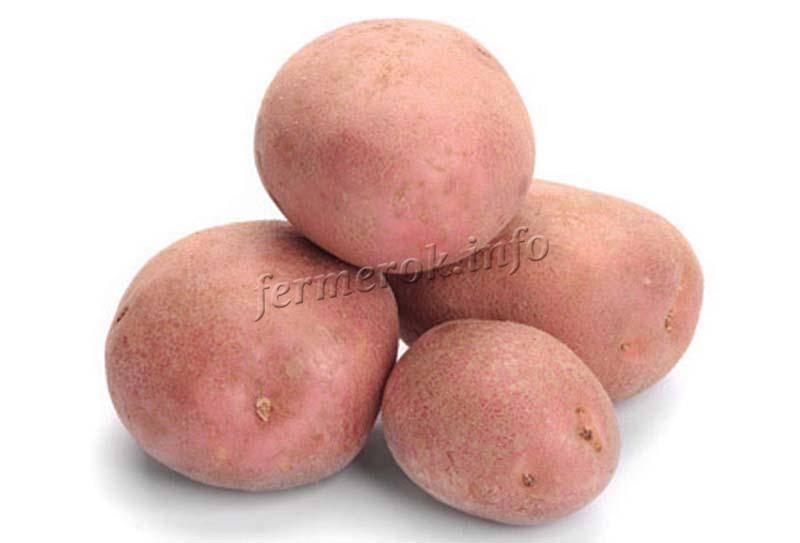 Картофель беллароза: характеристика, описание сорта, посадка и уход