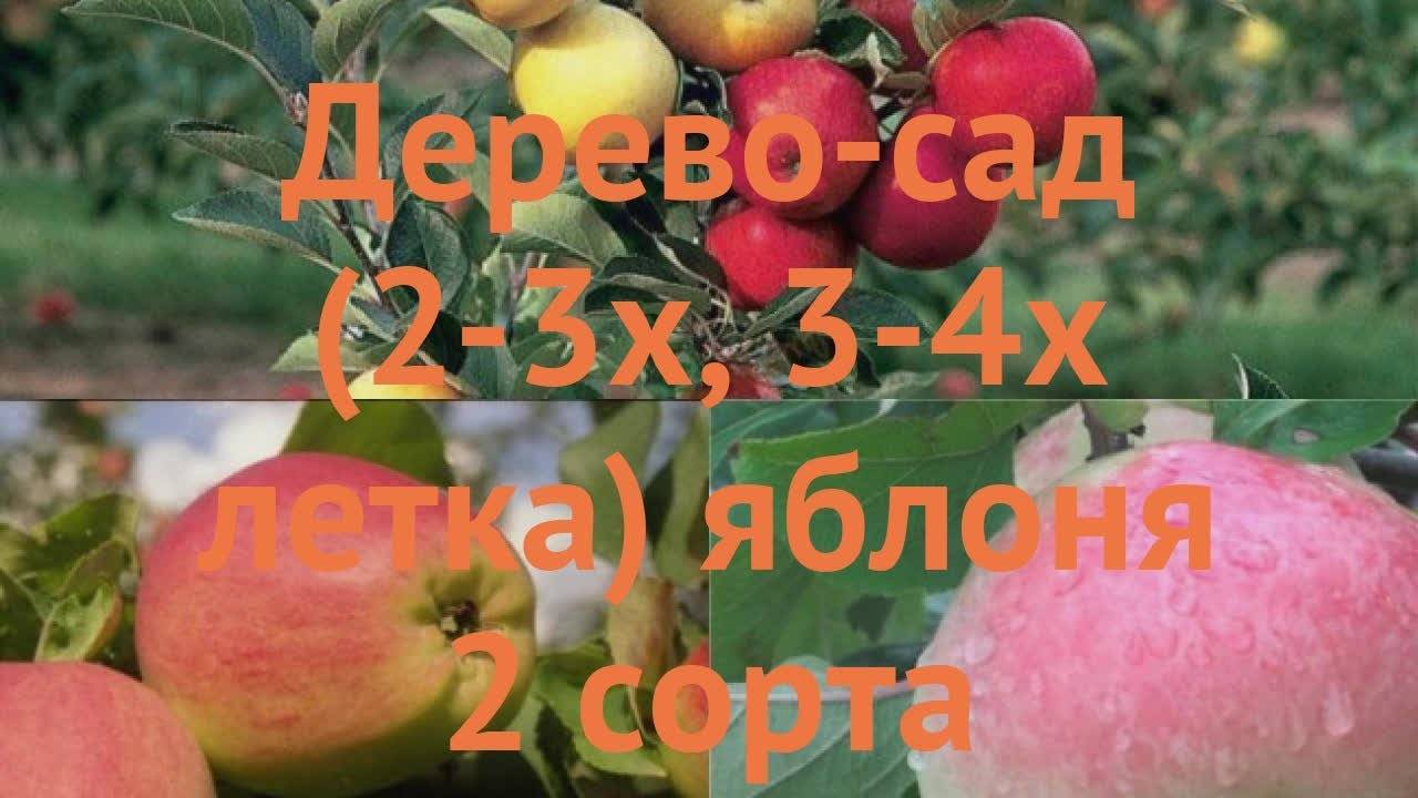 Прекрасным украшением вашего сада станет яблоня сорта золотая китайка