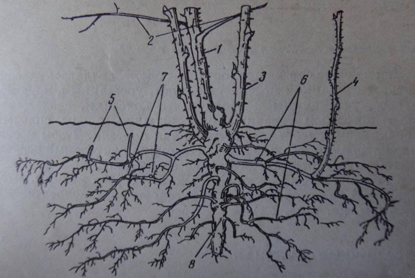 Глубина корней малины