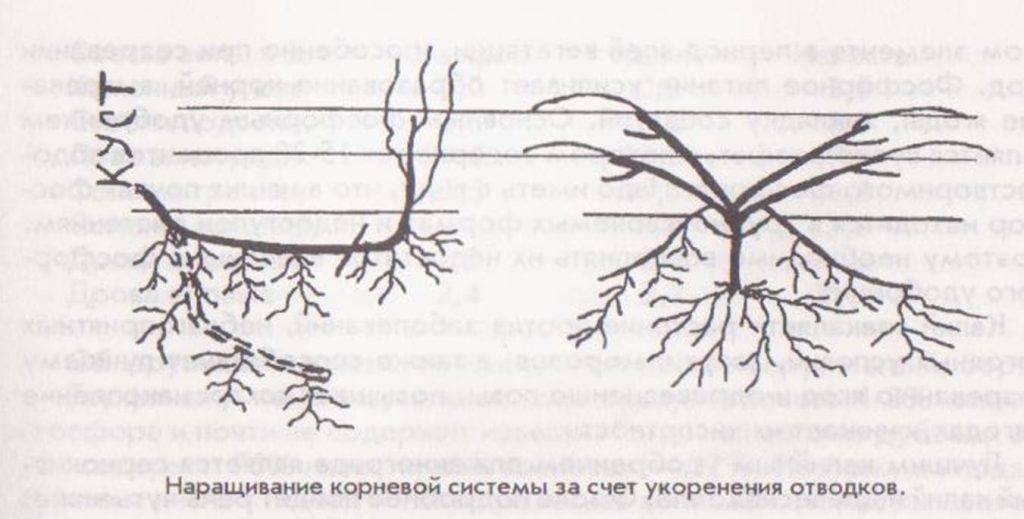 Способы размещения плодовых звеньев на шпалерах – формировка кустов