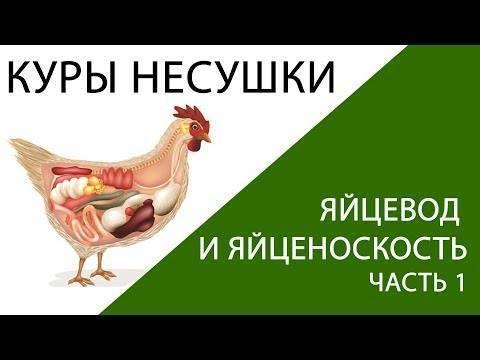 Воспаление яйцевода у кур: причины, диагностика, лечение