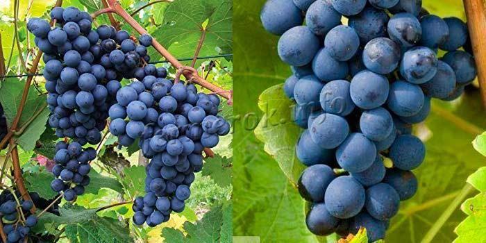 Выращивание винограда в квартире - комнатный виноград