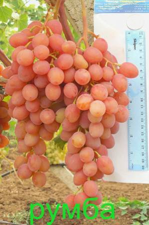 Сорт винограда «румба» описание и фото
