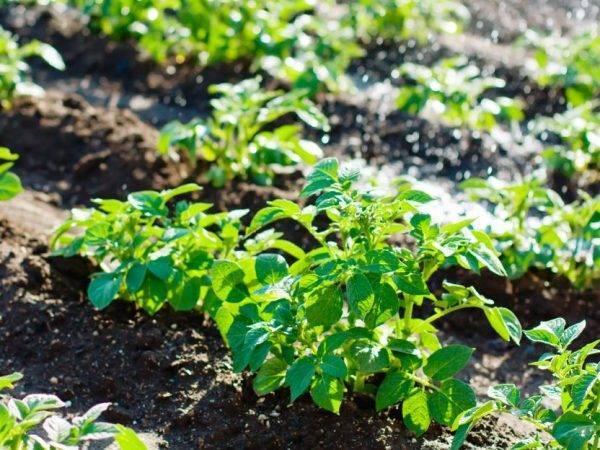 Картофель наташа: описание и характеристика сорта, фото