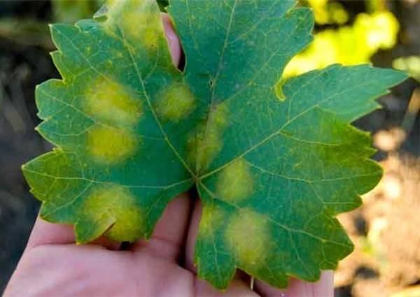 На листьях винограда появились красные пятна, что делать