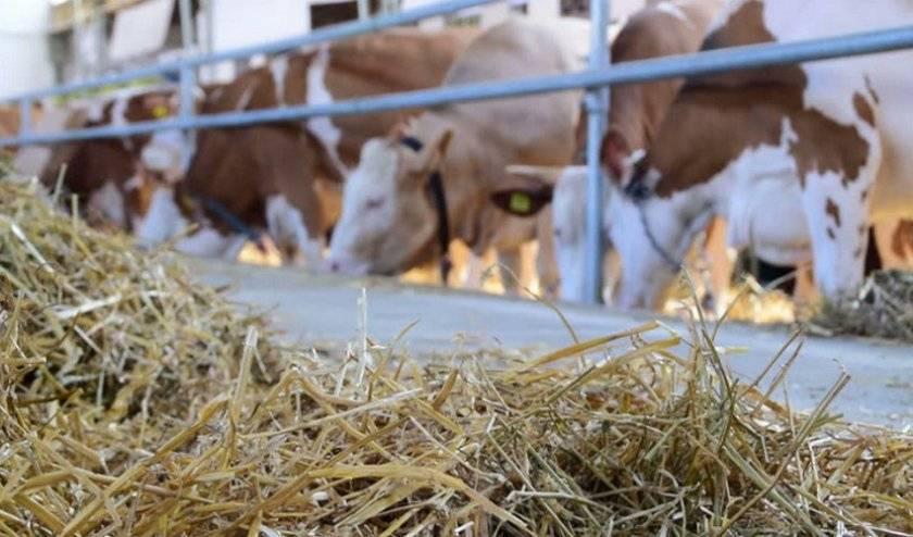 Сколько сена надо корове на зиму – как рассчитать