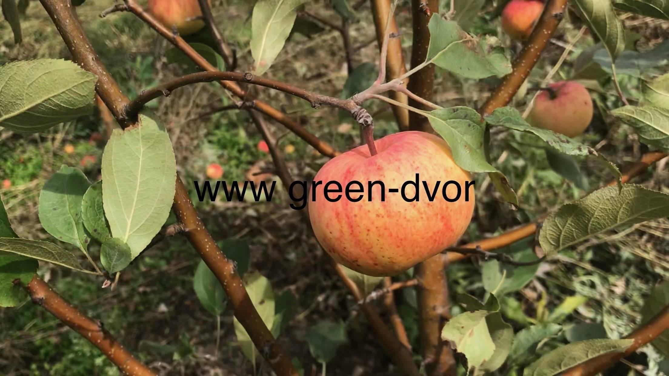 Особенности яблони мантет