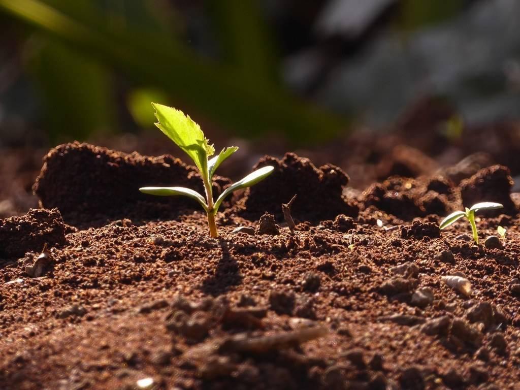 Как вырастить черешню из косточки в домашних условиях: посадка, удобрение, прорастание и уход за саженцем (75 фото)