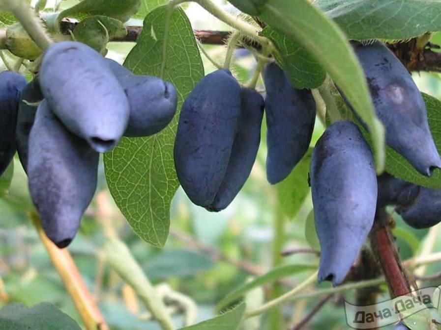 Жимолость амфора: описание сорта, посадка и особенности выращивания