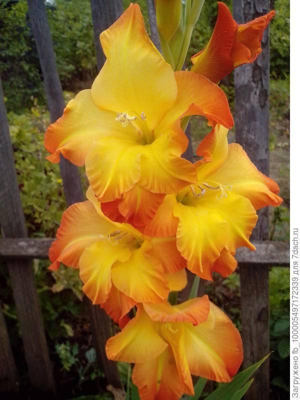 Уход за гладиолусами после цветения: когда можно срезать