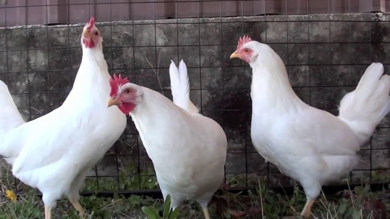 Леггорн: описание породы кур и фото в 4-5 месяцев, характеристики несушек и петухов, карликовых в 33, мини, пёстро-полосатых, белых, когда начинают нестись