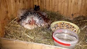 Что нужно сделать, чтобы посадить курицу на яйца