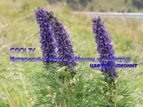 О растении аконит волчий: описание, как выглядит, свойства, ядовитый или нет