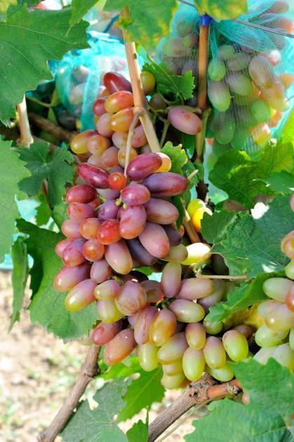 Сорт винограда байконур: характеристика, секреты выращивания