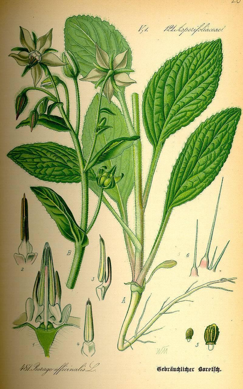 Огуречная трава — бораго: выращивание, свойства и применение.