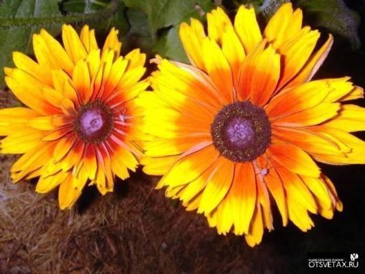 Особенности выращивания рудбекии многолетней из семян