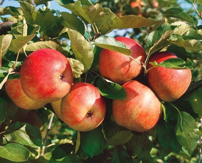 Немецкая яблоня граф эззо