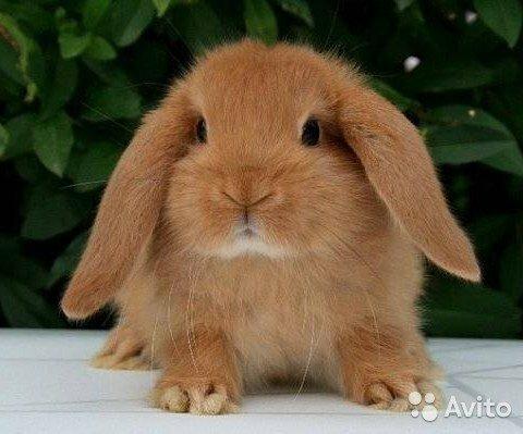 Чем кормить декоративного кролика?