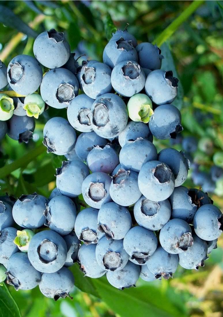 Садовая голубика - лучшие урожайные сорта