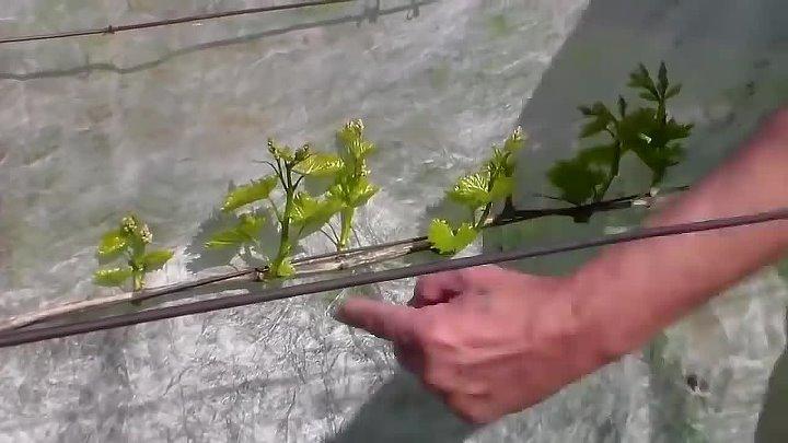 Когда и как обрывают листья у винограда