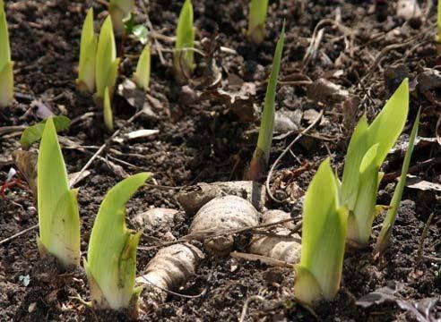 Как размножить ирисы семенами и вырастить в домашних условиях