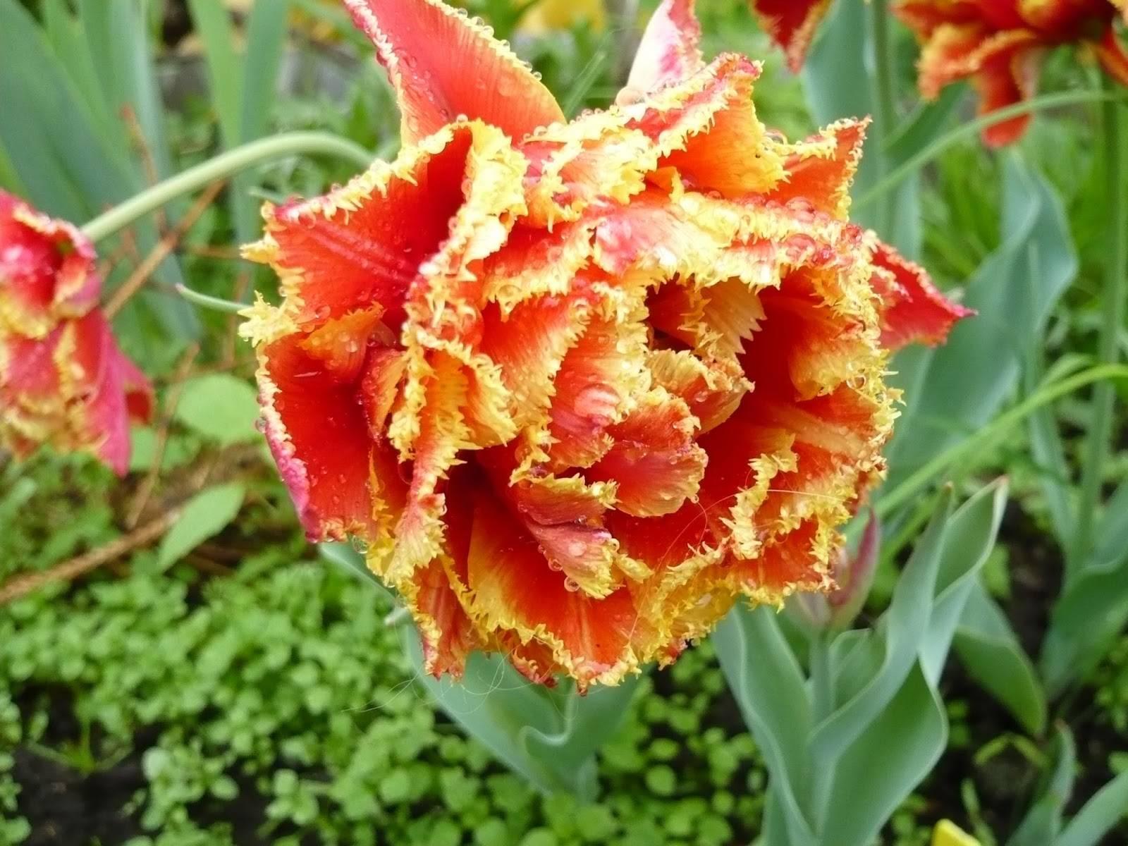 Сорта тюльпанов (66 фото): виды и их названия. каких цветов бывают тюльпаны? характеристика сортов «веранди» и «антарктика»