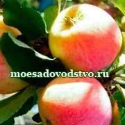 Яблоня краса свердловска – мечта любого садовода