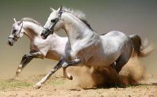 Отличия коней иноходцев от обычных лошадей