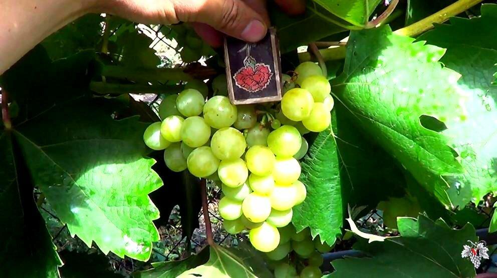 "Виноград ""галбена ноу"": описание и характеристика, отзывы"
