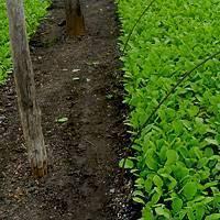 Когда сажать редиску под пленку весной, при какой температуре можно это делать и как сеять в марте и апреле семена ранних сортов овоща в открытый грунт под парником?