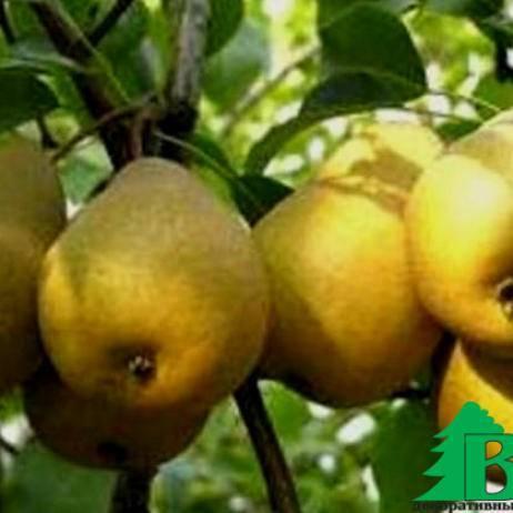О сорте груши Скороспелка из Мичуринска: описание, выращивание, как ухаживать