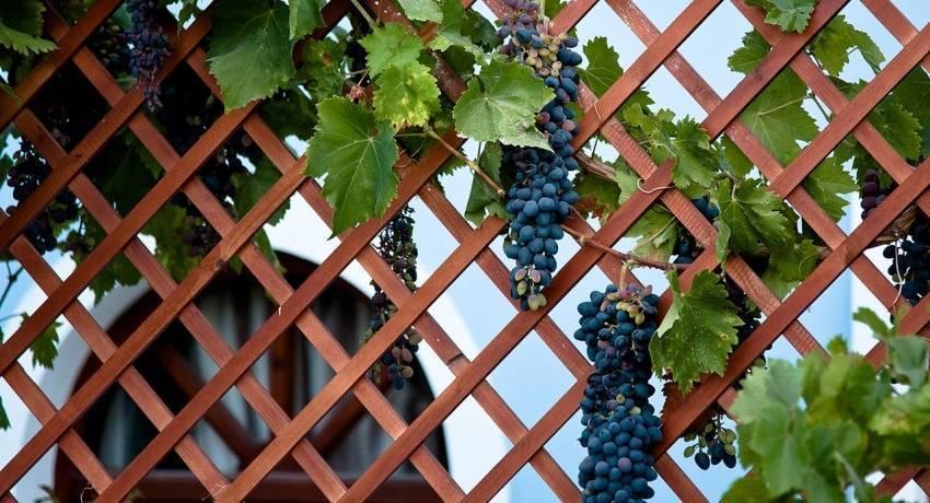 Шпалера для винограда своими руками на даче