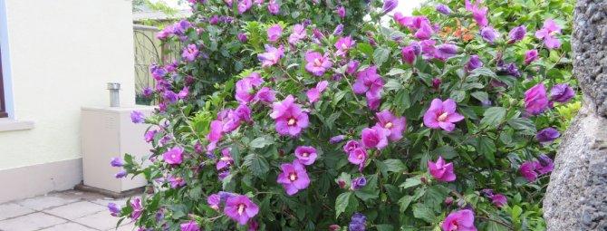 Гибискус садовый – выращивание и уход | китайская роза в саду