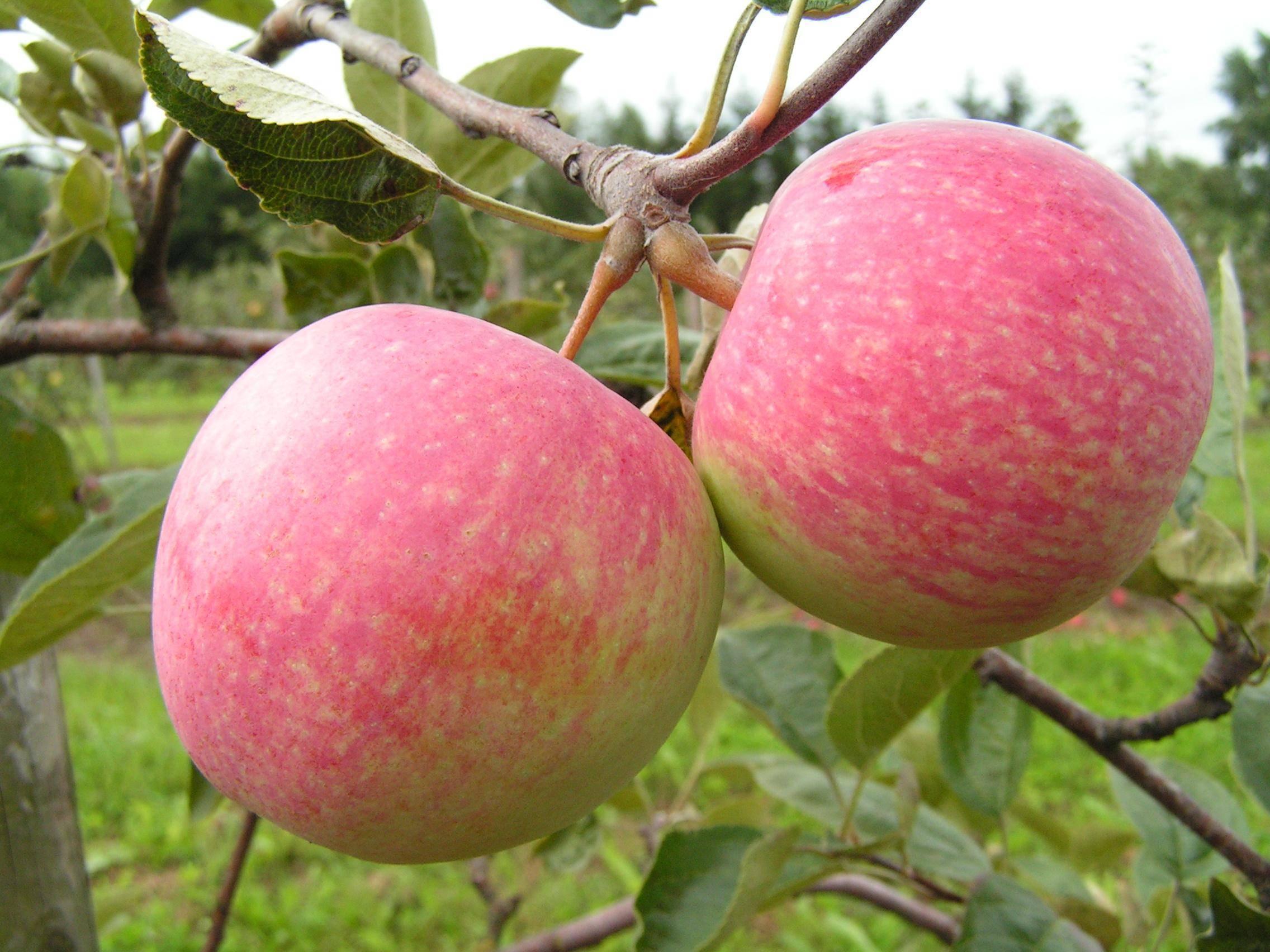 О яблоне ранетка: описание и характеристики сорта, посадка и уход