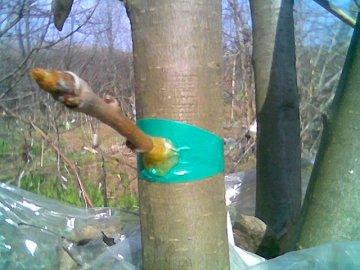 Как правильно привить яблоню весной: советы для начинающих