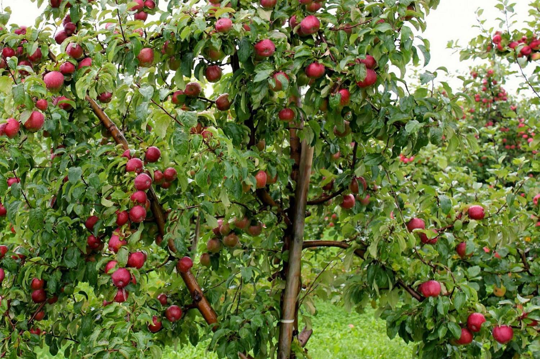 Подробная характеристика, особенности выращивания и ухода за яблоней «зимняя красавица»
