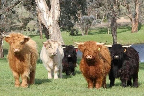 О мини коровах (породы маленьких, карликовых, декоративных, миниатюрных коров)