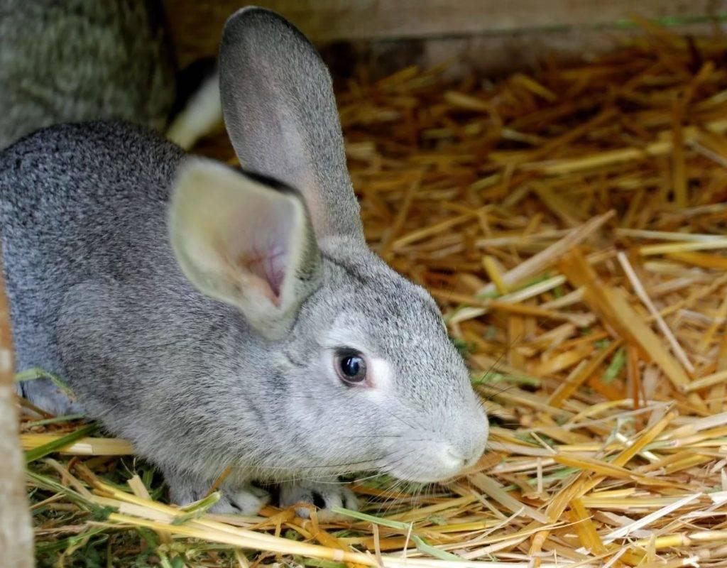 Особенности и лечение геморрагической болезни кроликов