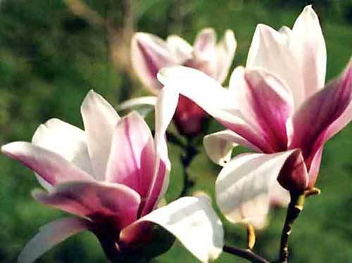 Цветы магнолии: описание и характеристика лучших сортов, посадка и уход